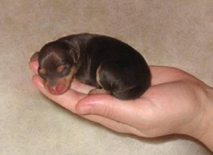 Новорожденный щенок плохо сосет трясется